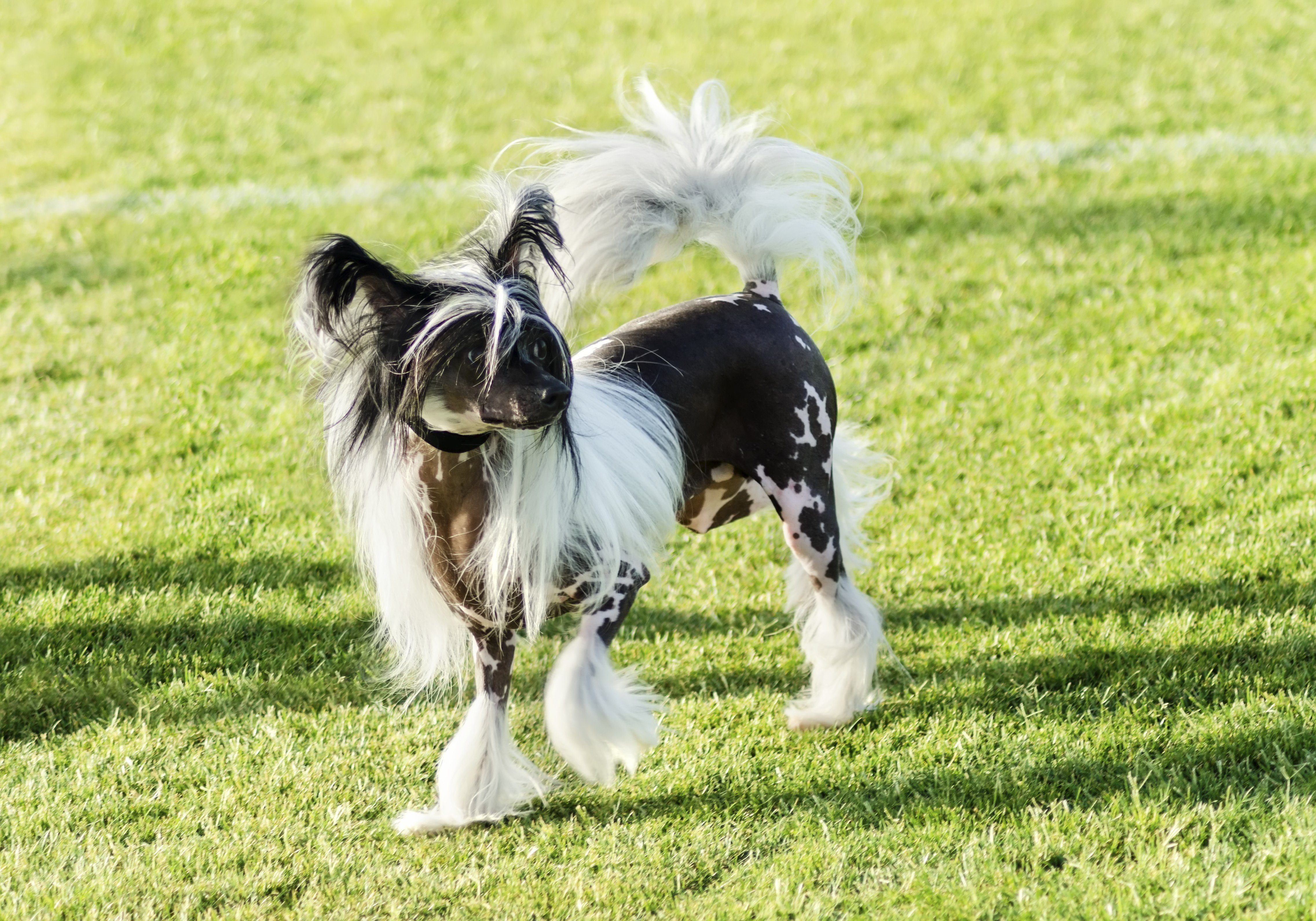 A small black and white hairless Chinese Crested dog standing on the lawn looking very elegant.