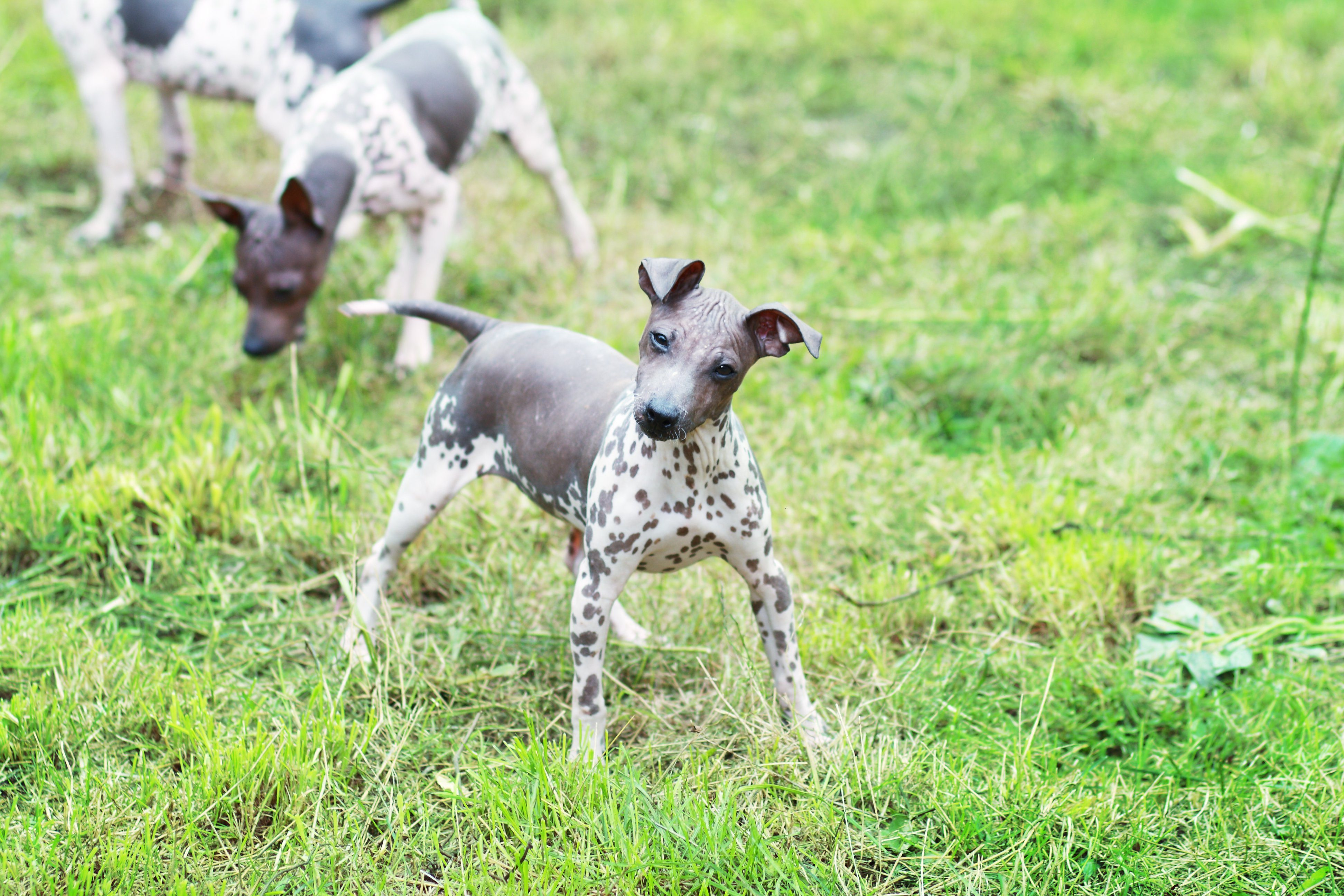American Hairless Terrier drinking water outdoor