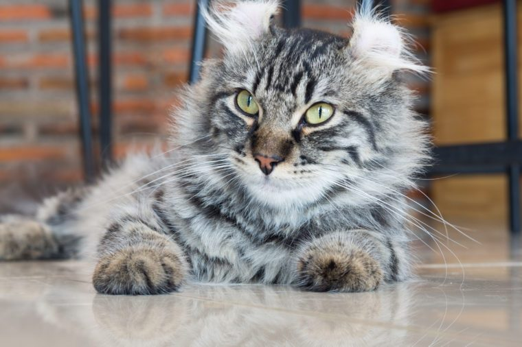 American curl cat; central face focus
