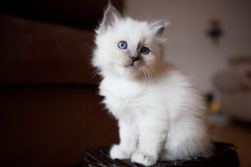 Young adorable white Sacred Birman kitten