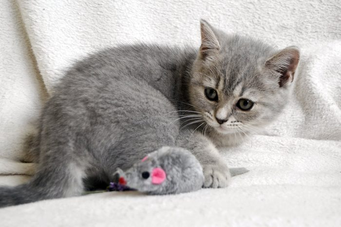 British Blue Silver Kitten. Little Cat Playing with Mouse Toy
