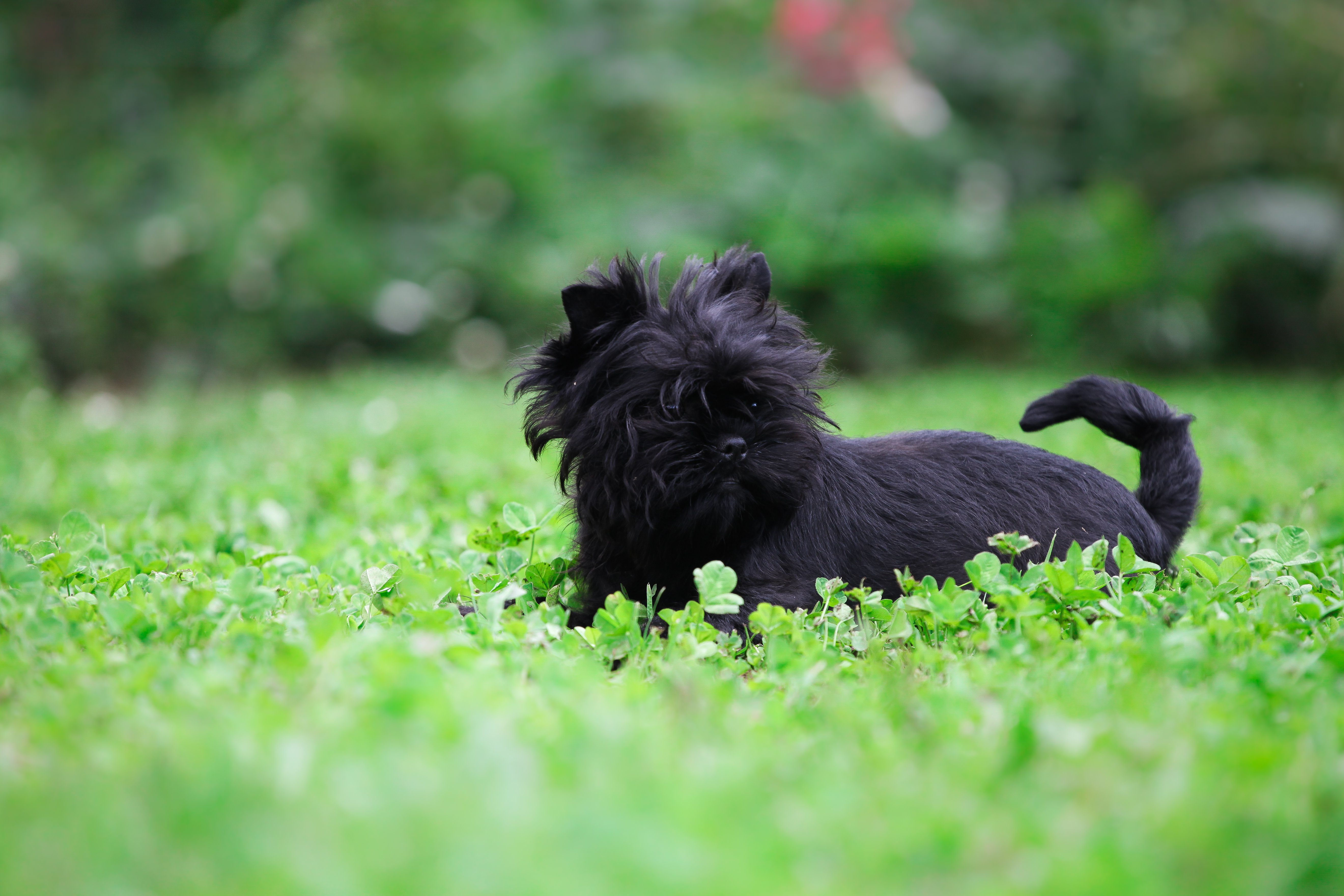 Funny Affenpinscher playing in the garden
