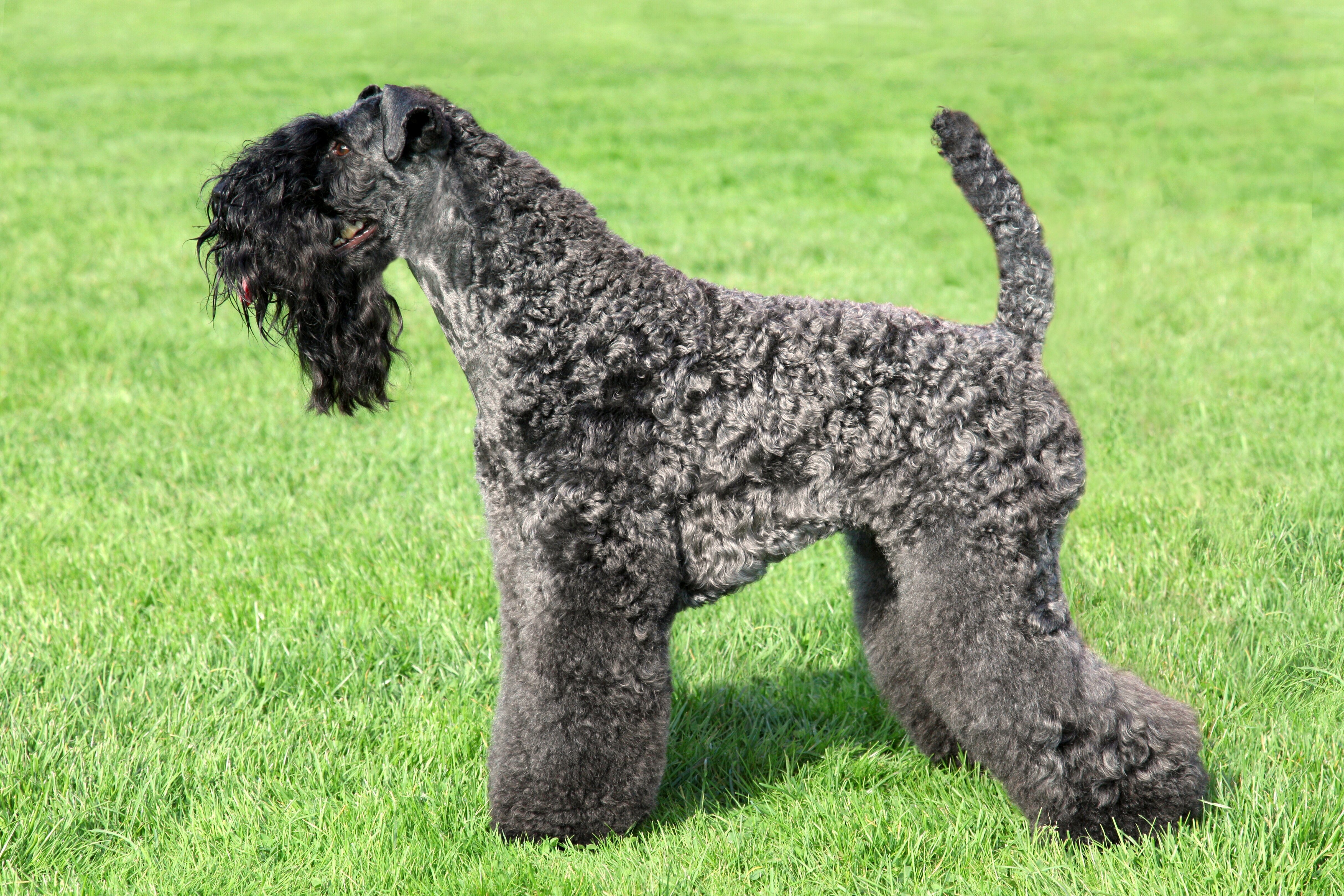 Kerry Blue Terrier standing on the green grass