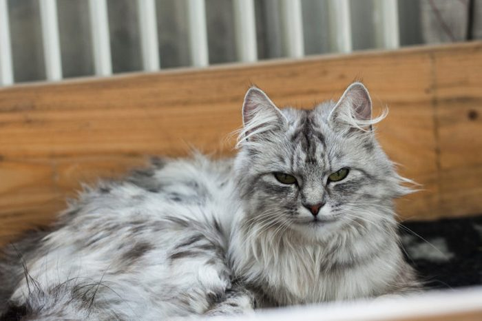 Norwegian Forest Cat / Siberian