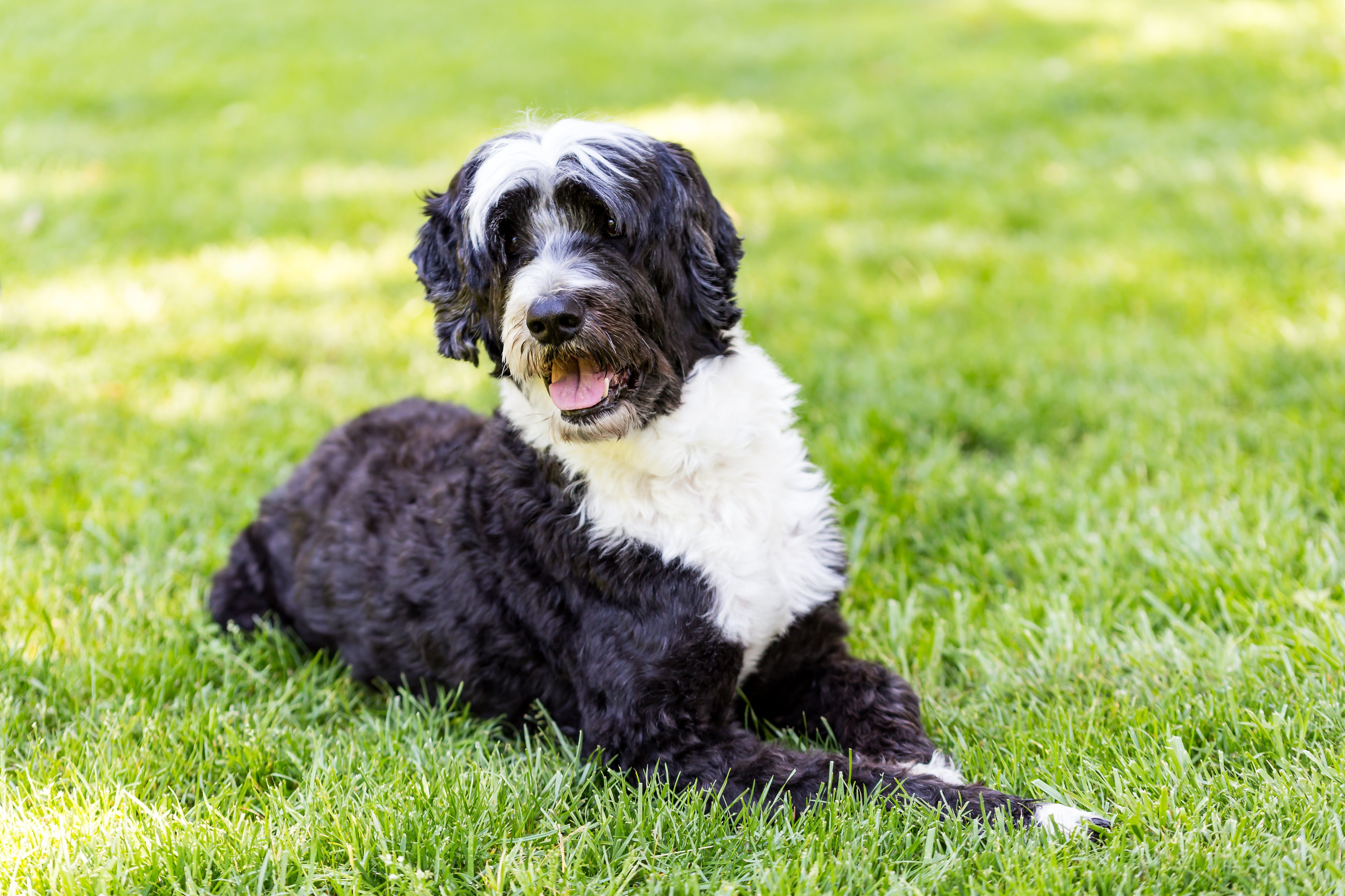 Portuguese Water Dog sitting in grass. A wavy coat portie leans over at the viewer.