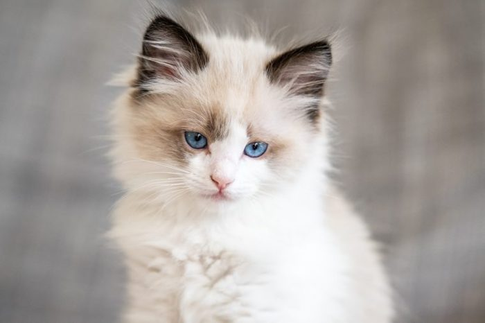 Ragdoll Kitten Blue Eyes Cat at home