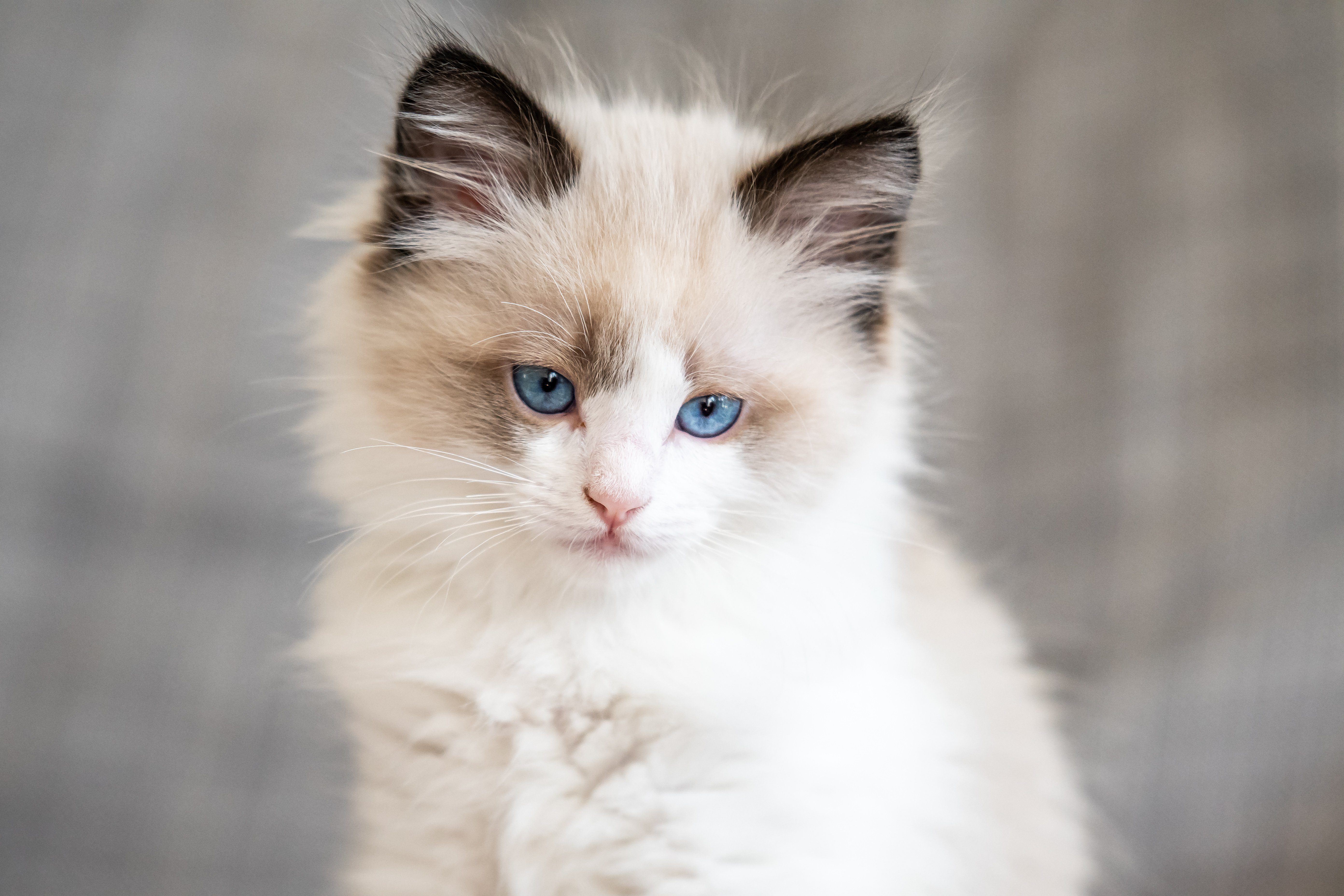 Can You Guess the Cat Breed from Its Kitten Picture