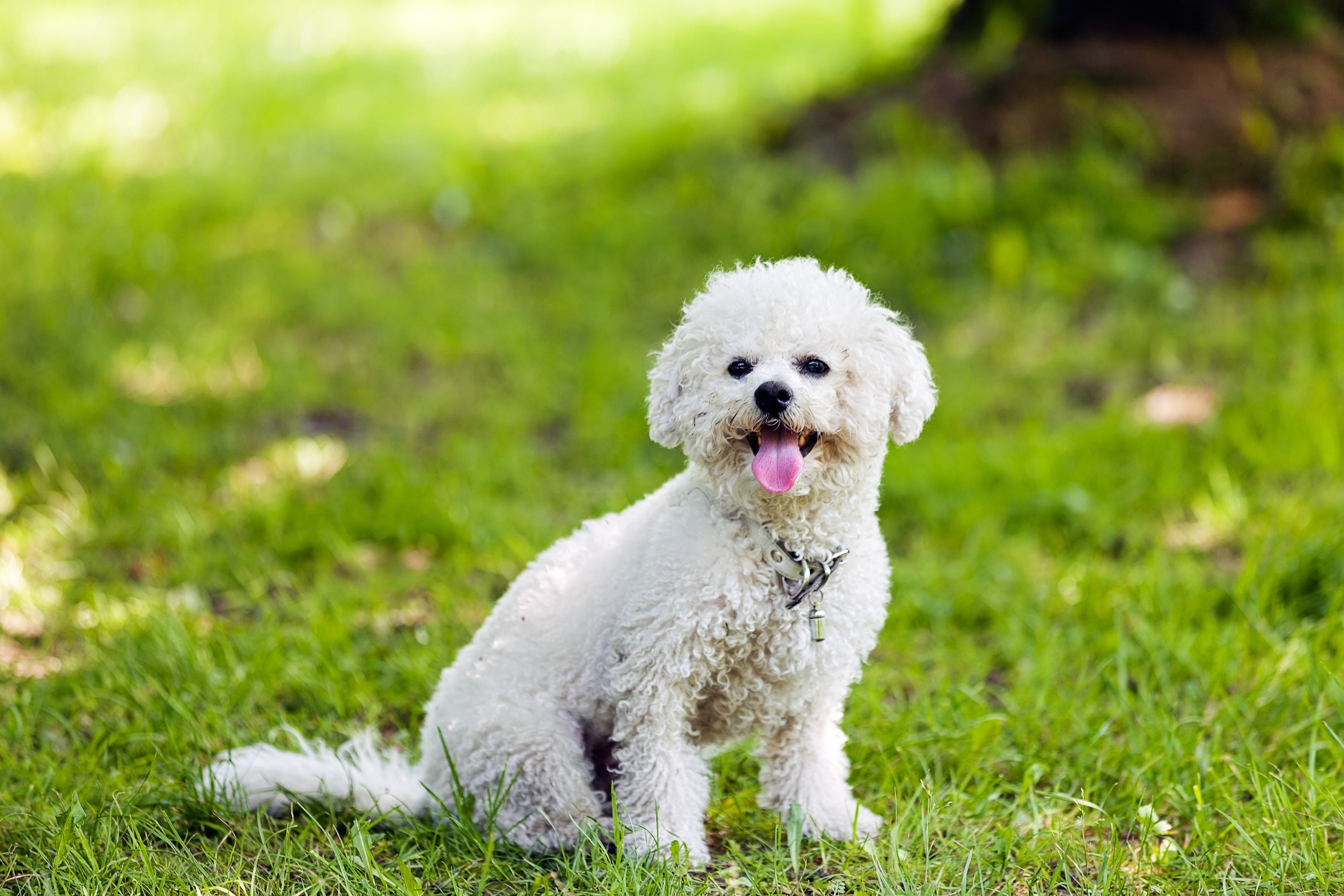 cute small bichon sitting in grass in the park, notice: shallow depth of field