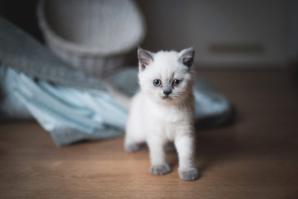 Colored British shorthair