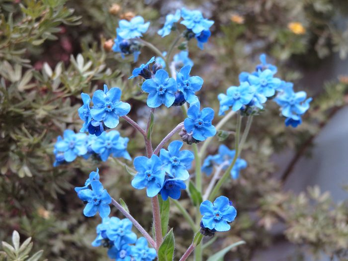 Blue forget-me-nots flowers