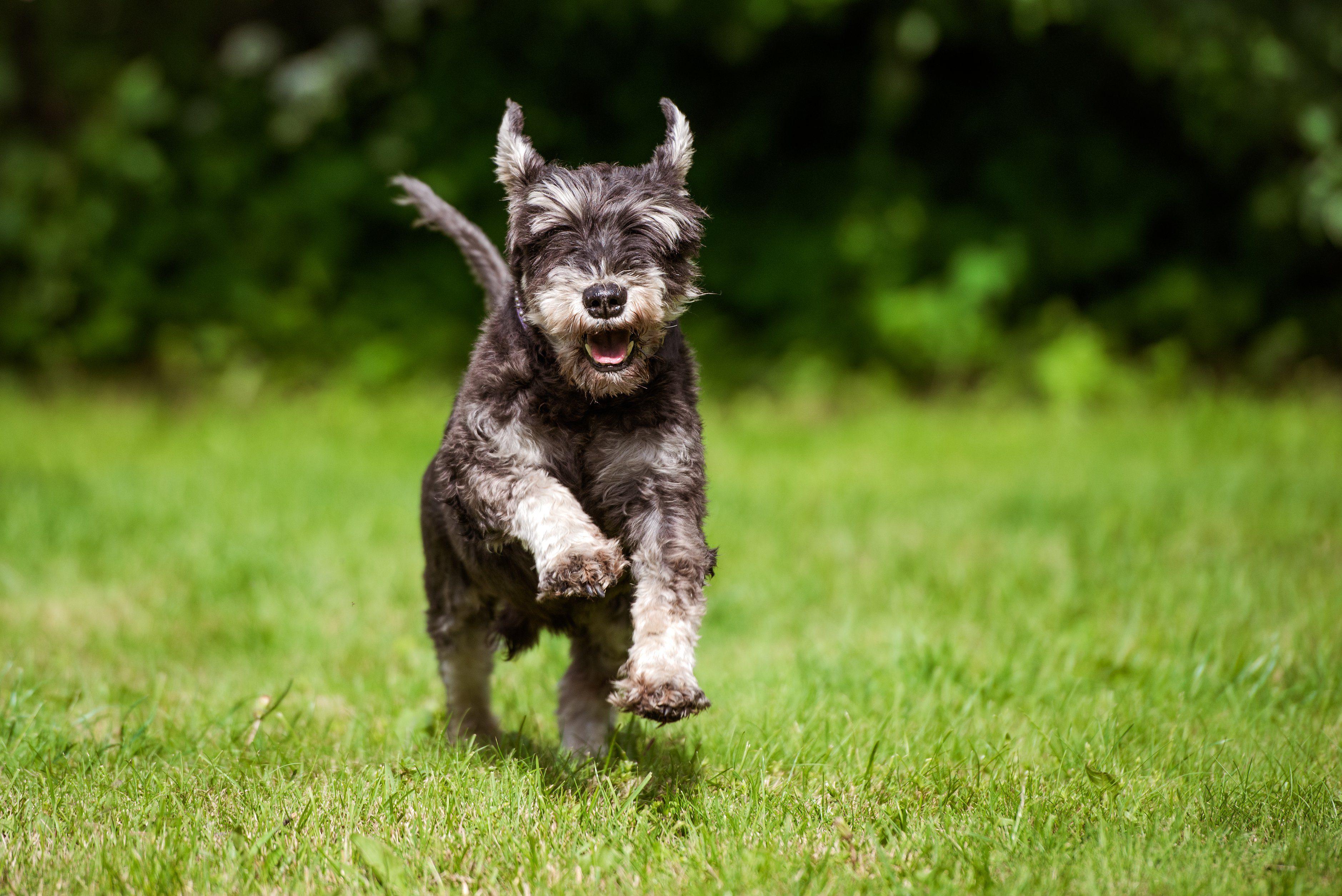 happy miniature schnauzer dog running outdoors