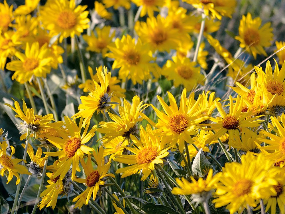 Flowering arrowleaf balsamroot