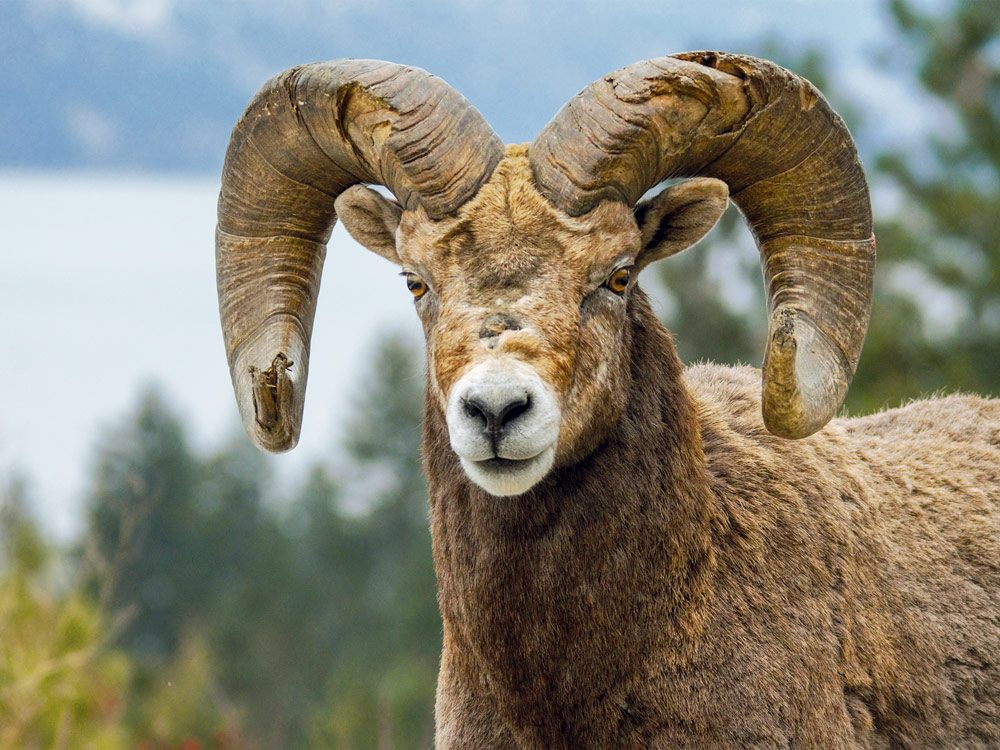 A majestic bighorn sheep