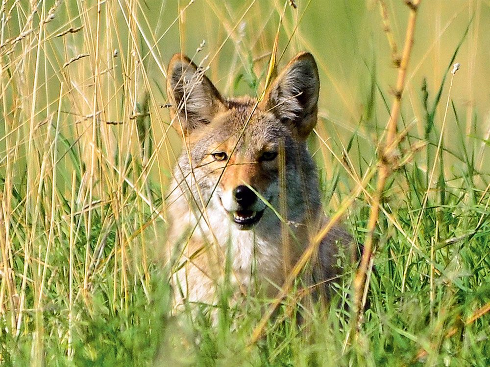 Coyote hiding in the grass