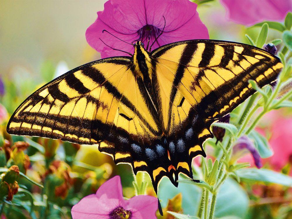 A stunning swallowtail butterfly