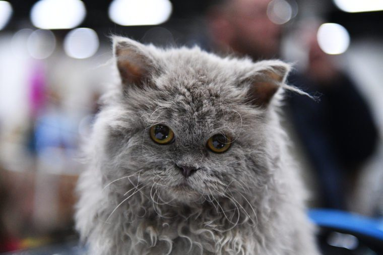 See the Cutest Cat Breeds as Kittens | Reader's Digest
