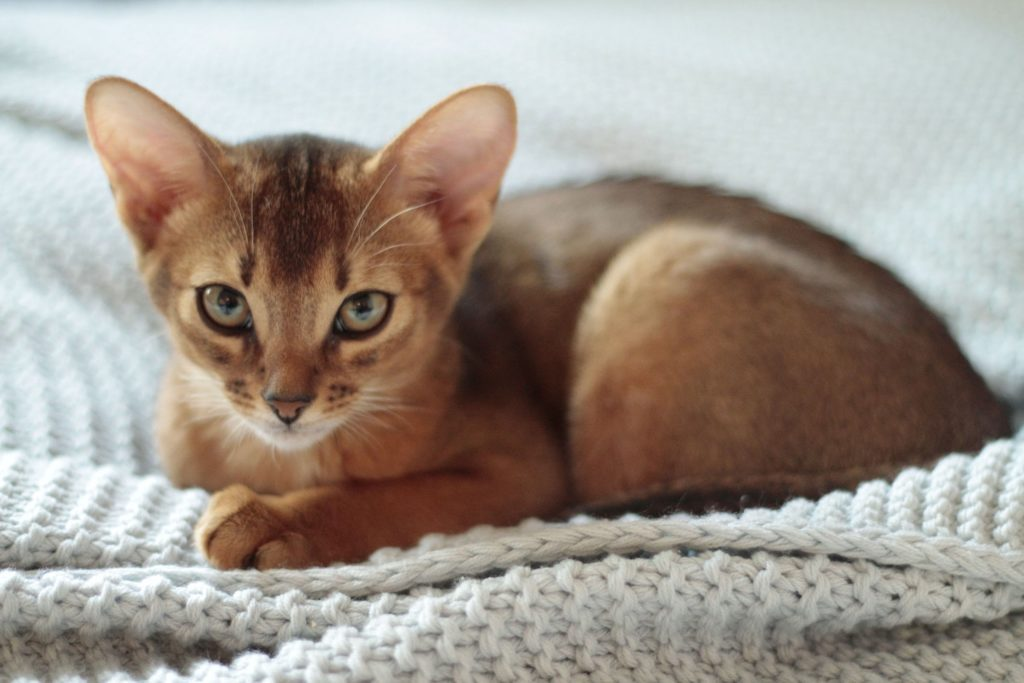 Beautiful Abyssinian Cat