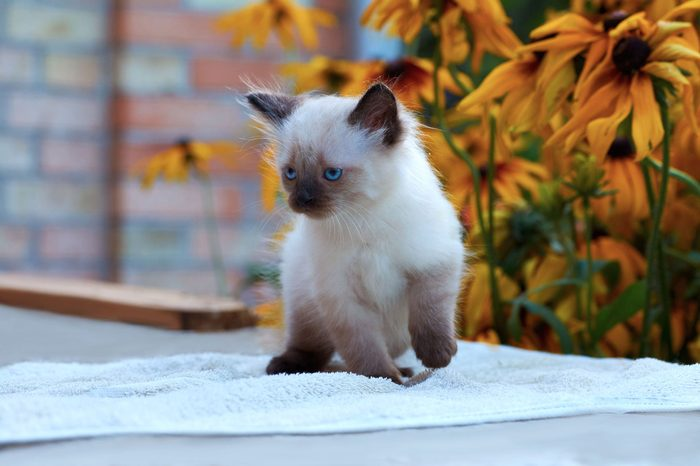 balinese kitten sitting on a table in a garden brick wall and yellow flowers on a background