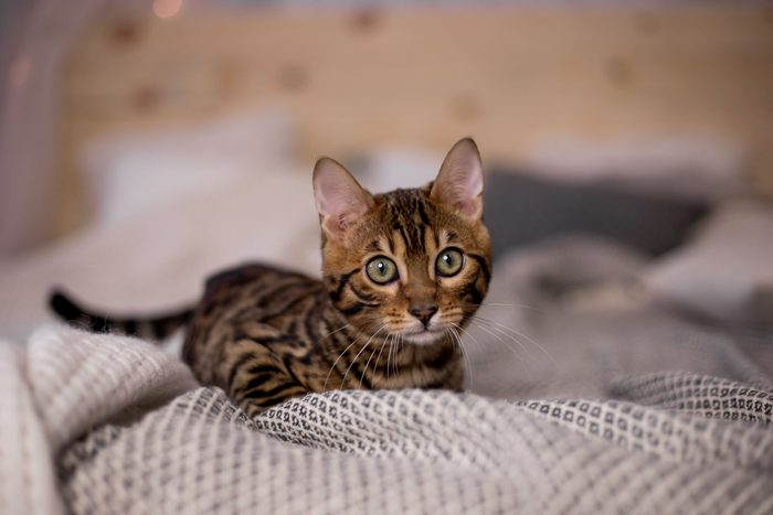 Kittens of Bengal breed at home