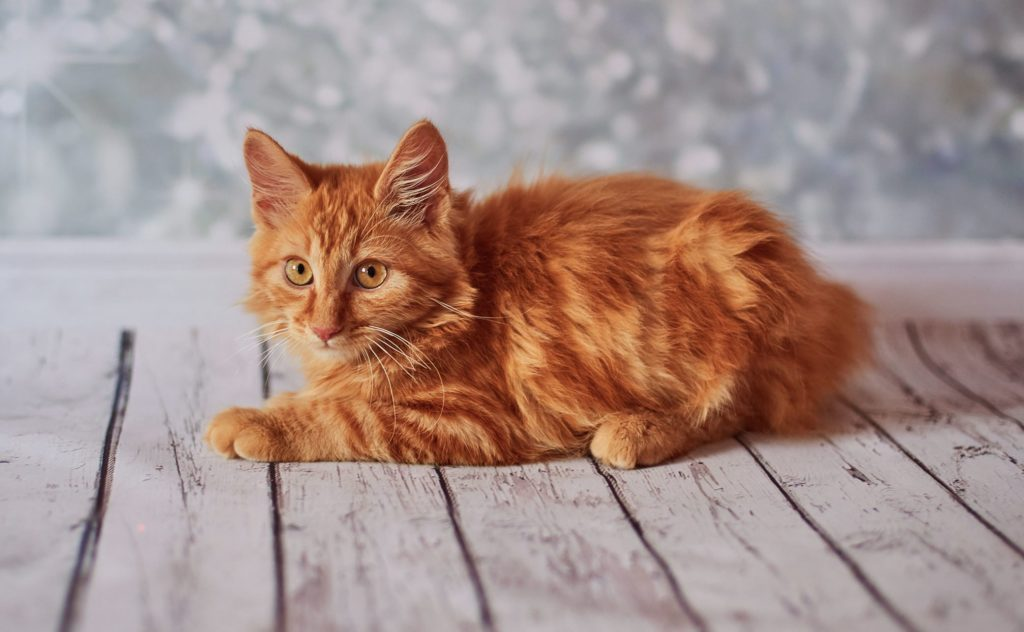 Cutest cat breeds