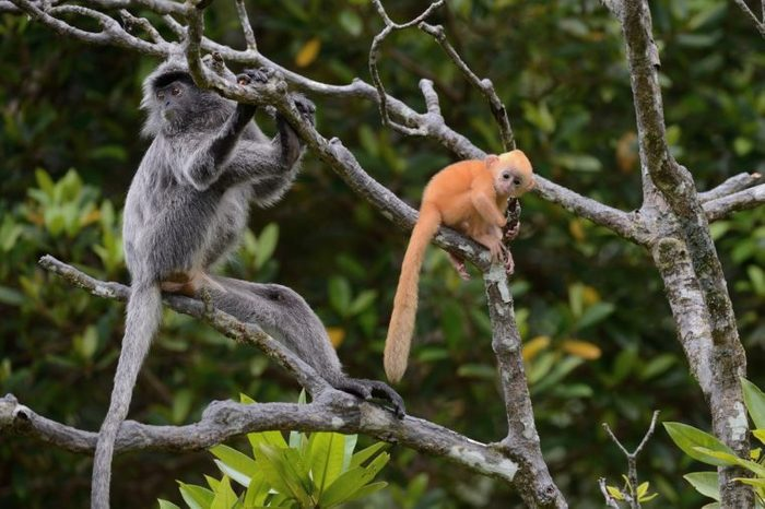 Mother and child of silvered leaf monkey
