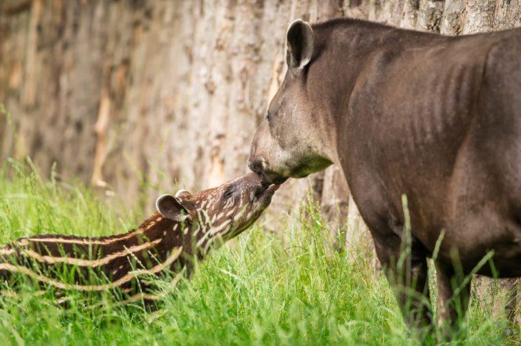 Baby of the endangered South American tapir (Tapirus terrestris), also called Brazilian tapir or lowland tapir with its mother