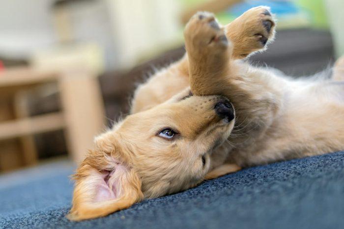 A Puppy of Breed Golden Retriever rolls around