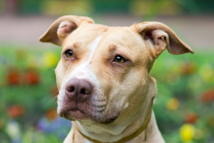 Outdoor Portrait close-up American Pit Bull Terrier