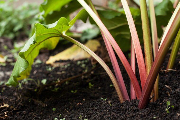 Rhubarb in the garden.