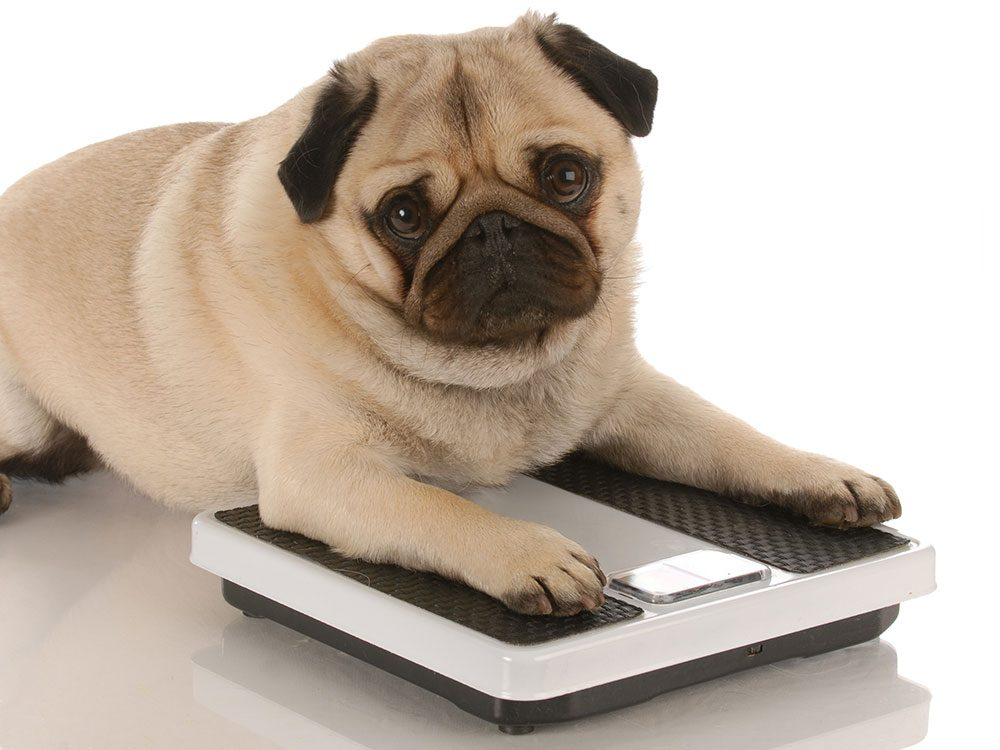 Boost your pet's life span - maintain a health weight dog