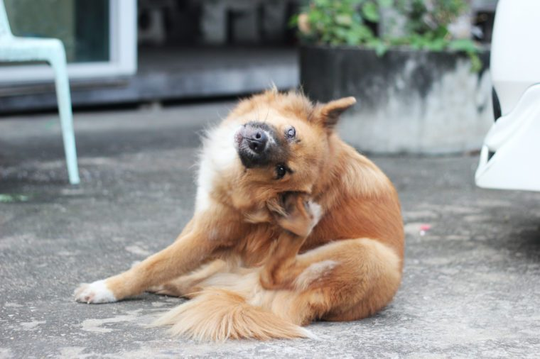 close up brown dog scratching its ear on siting position