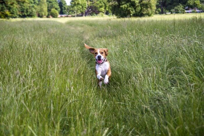 Young Beagle running through long grass