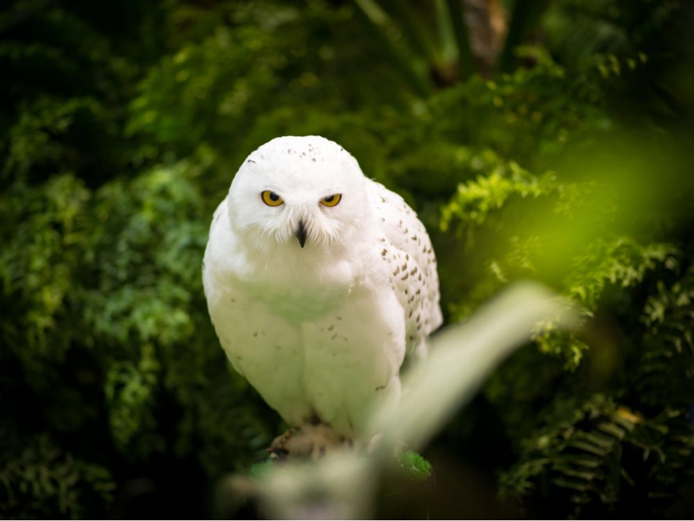 Hedwig, the owl from Harry Potter