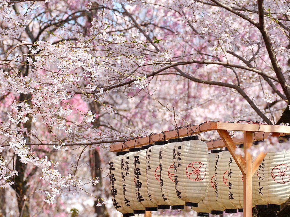 Japanese lanterns in a Sakura-filled garden