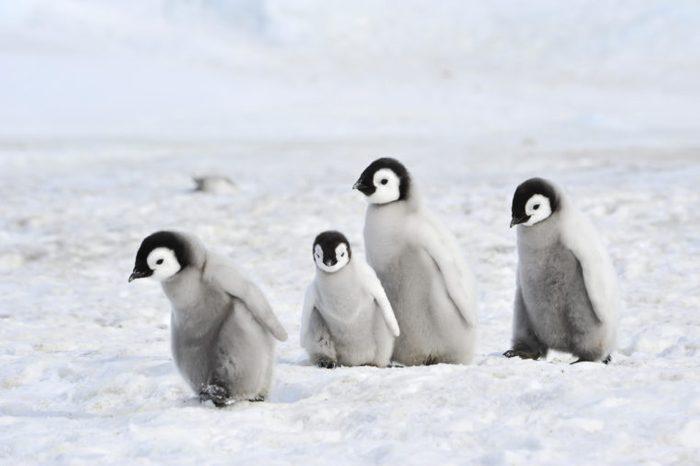 Emperor Penguin chicks in Antarctica