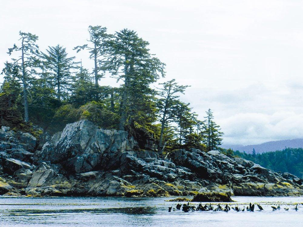 "Sea lions ""sailing"" during the herring run"
