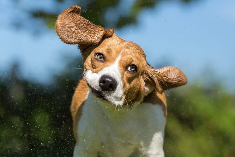Wet Beagle dog shaking his head