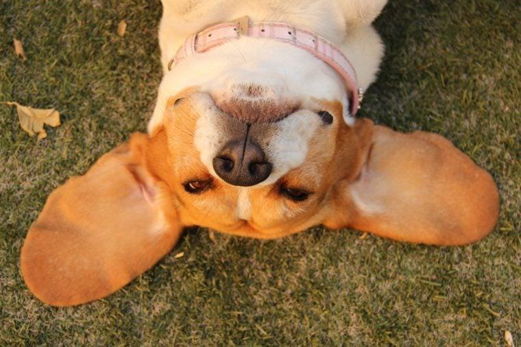 Beagle's head on the grass