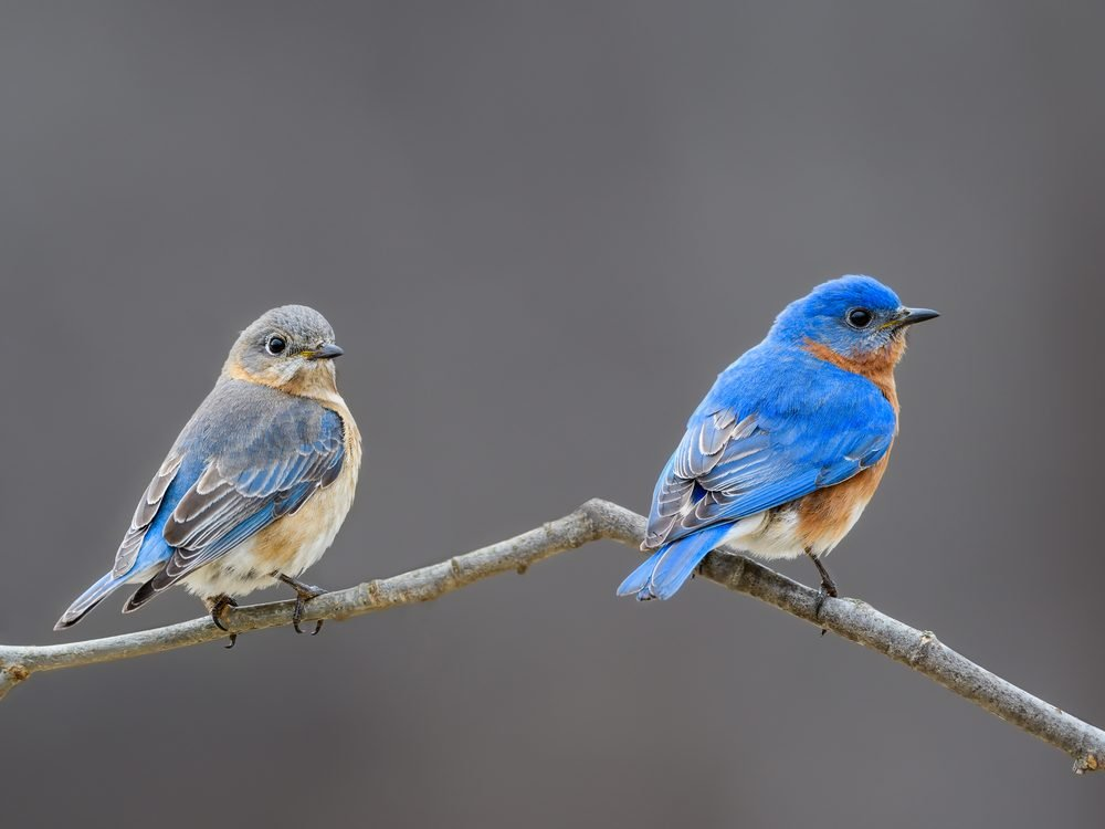 Facts about bluebirds
