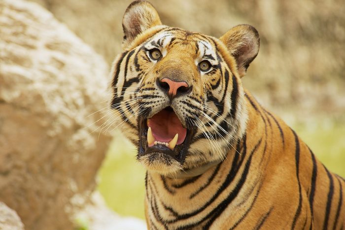 Adult Indochinese tiger. The Indochinese tiger (Panthera tigris corbetti) is a tiger subspecies found in the Indochina region of Southeastern Asia.