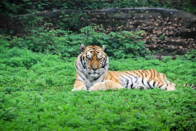An adult wild South China tiger resting on the grass outdoors