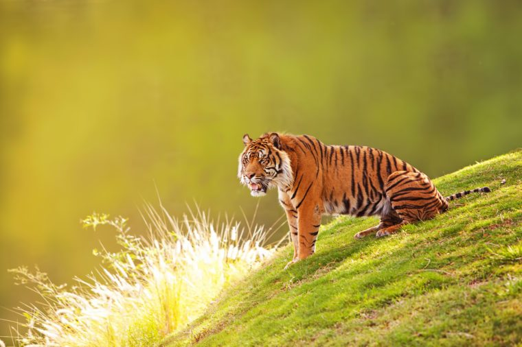Beautiful Sumatran Tiger sitting on the green grass of a hill with a blurred out forest background
