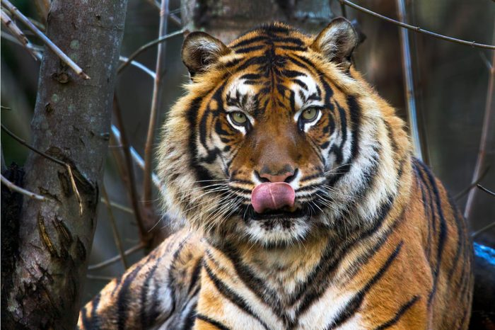 Beautiful Sumatran Tiger with tongue out on a cold winters day