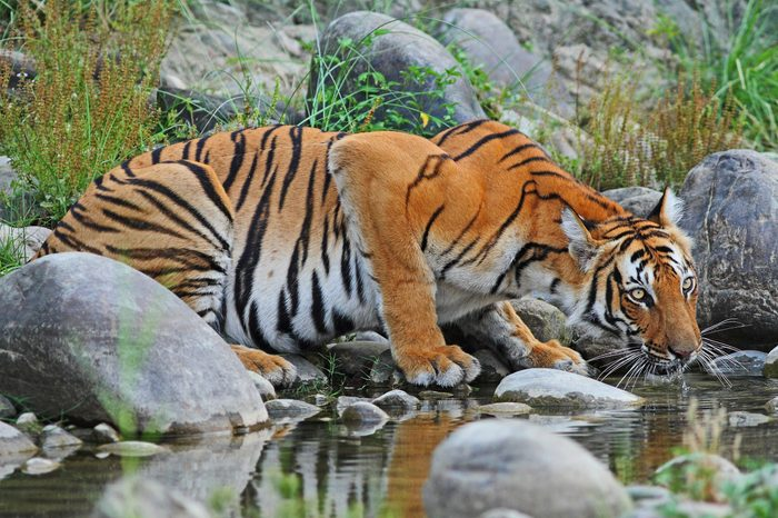 Bengal Tiger drinking water at a stream