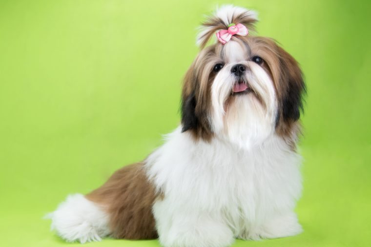 Cute shih tzu puppy is sitting on green background
