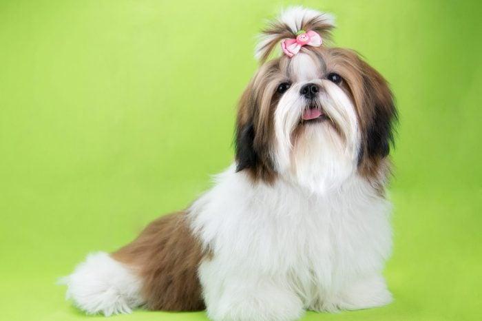 Cute shih tzu puppy is sitting on green background