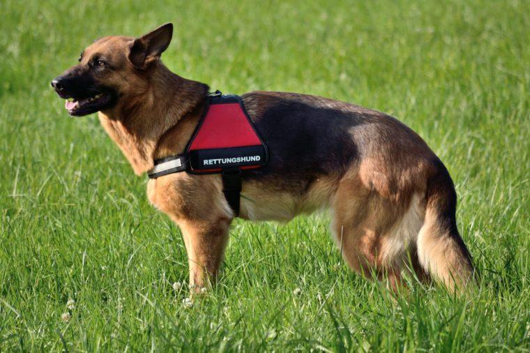 German Shepherd as a rescue dog