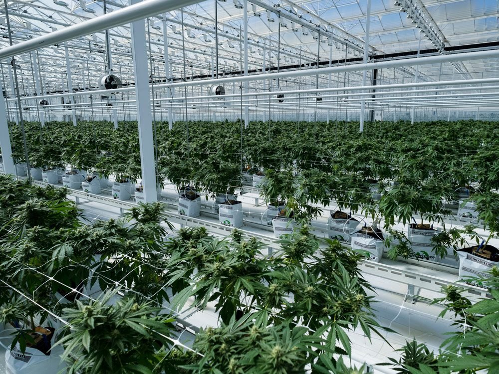 7 Things You Never Knew About Cannabis Farming