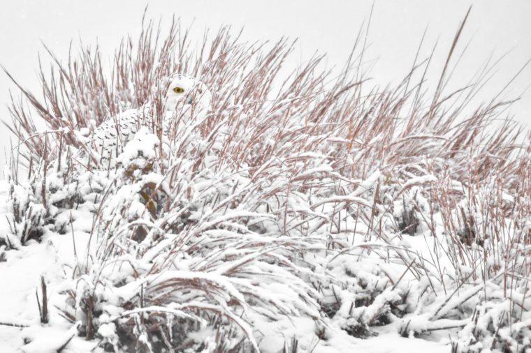 Snowy owl hidden in beach grass.