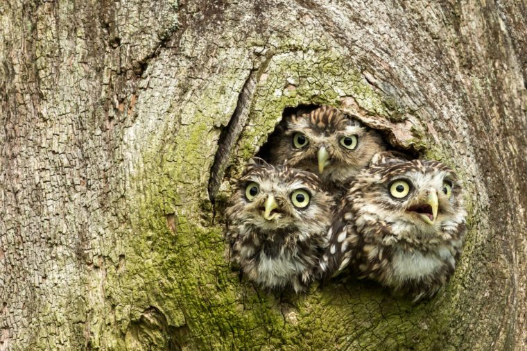 Three Little Owls in the hollow of a tree. Little Owl is the name of the species and not the size of the owl. Latin name: Athene noctua. Landscape.